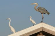 10 Herons and Egrets Found in North America