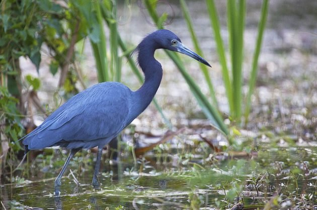 Little Blue Heron Emmet Hume Wikimedia Commons