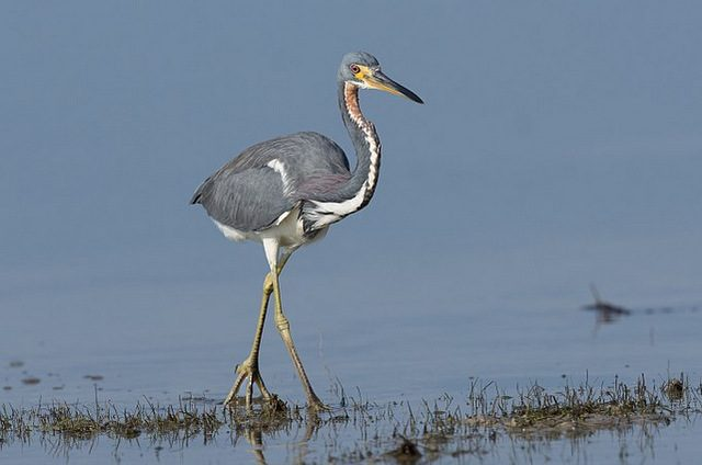 Tricolored Heron Russ Wikimedia Commons