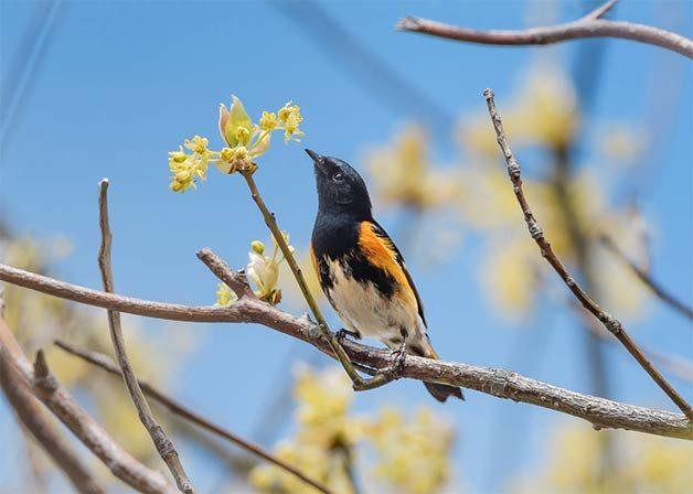 american redstart in spring blooming tree
