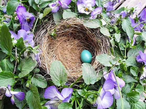 american robin egg in nest