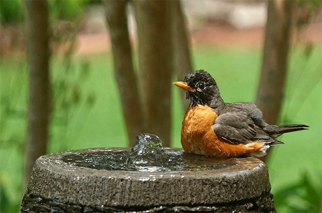 American robin in bubbler