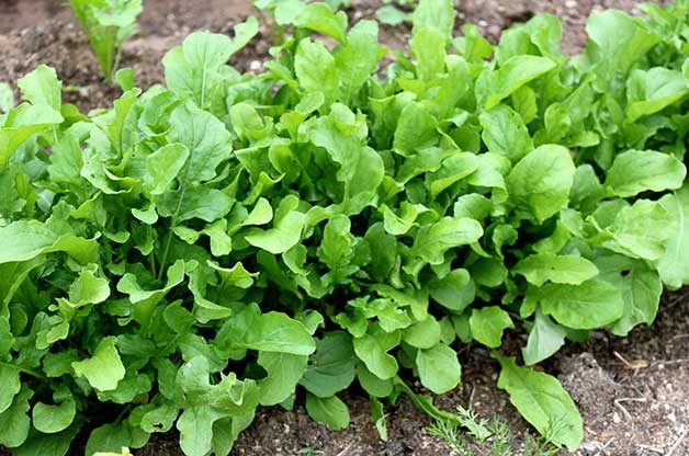 Arugula growing in a summer garden.