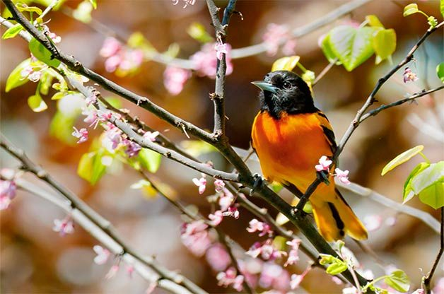 Baltimore oriole in spring blossoms