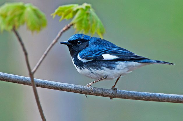 Black-throated blue warbler on branch in spring