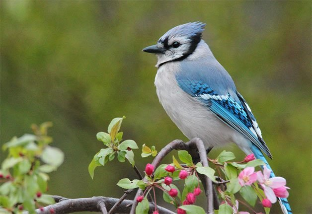 spring blue jay sitting in crabapple tree