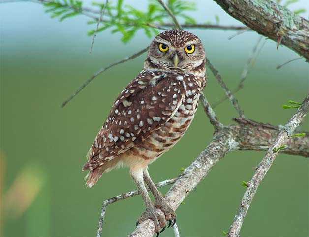burrowing owl in tree