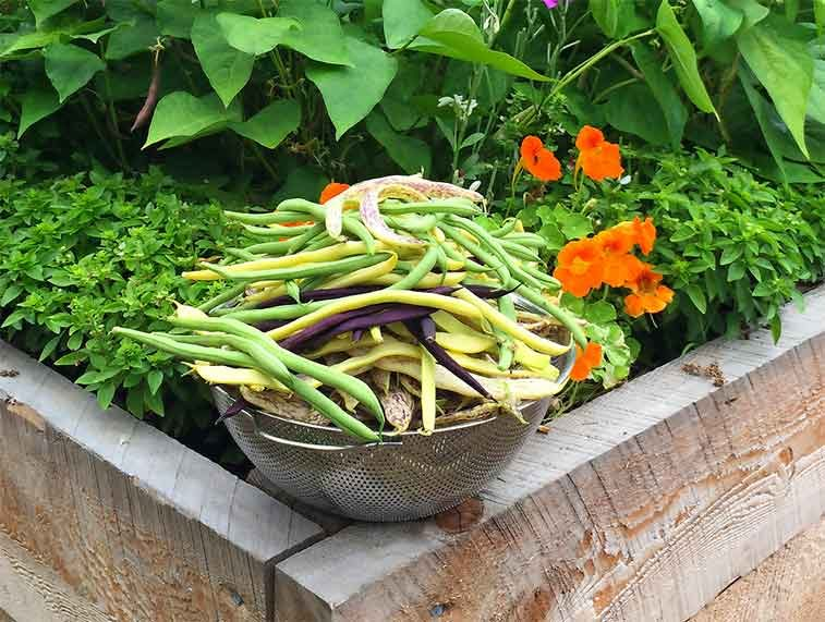 Bowl of bush beans on garden container.