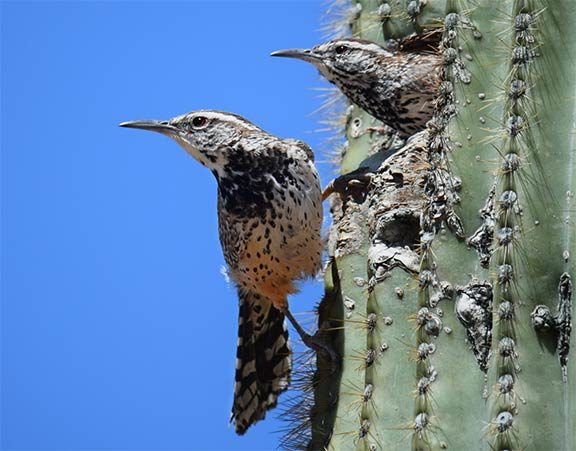 pair of cactus wrens nesting in cactus