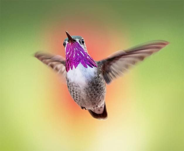 calliope hummingbird flying in spring