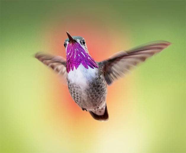 calliope hummingbird flying in spring