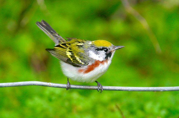 Chestnut-sided warbler sitting on branch