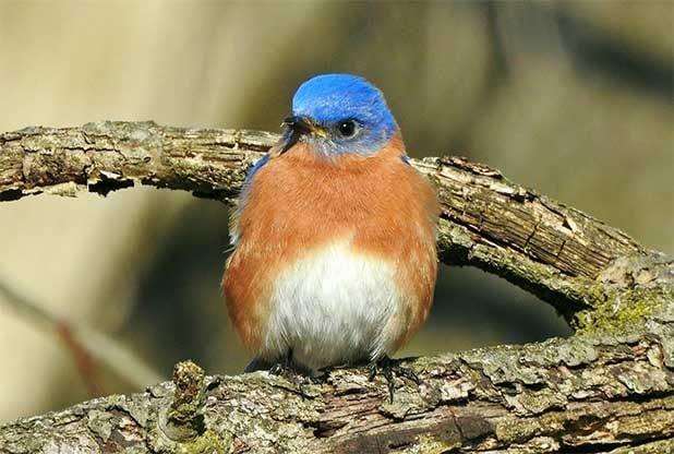 Eastern bluebird sits on a branch