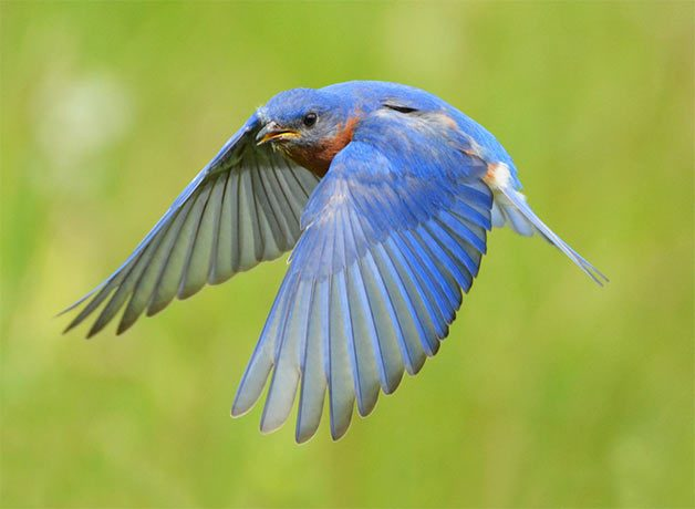 a bluebird flying through the air