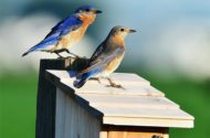 Eastern bluebirds on birdhouse roof.
