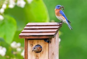 Attract Bluebirds to Your Yard with Nest Boxes