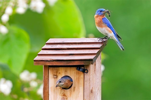 a pair of eastern bluebirds at nesting box