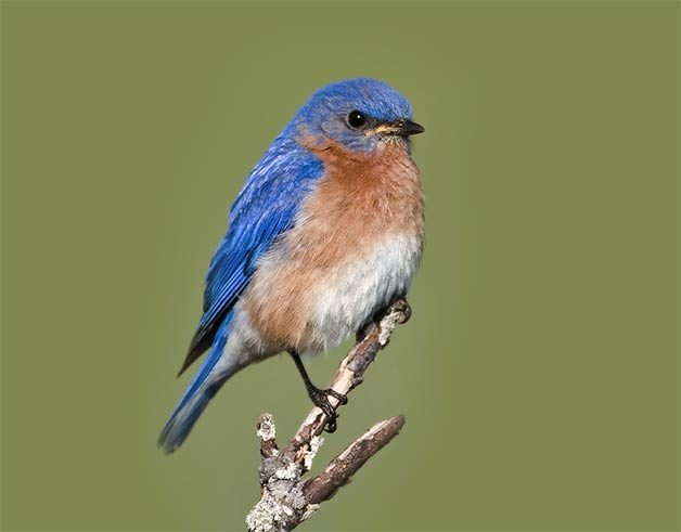 eastern bluebird on spring perch