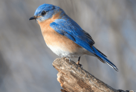 Where Should I Place the Bluebird Nest Box? // Ask the Bird Experts