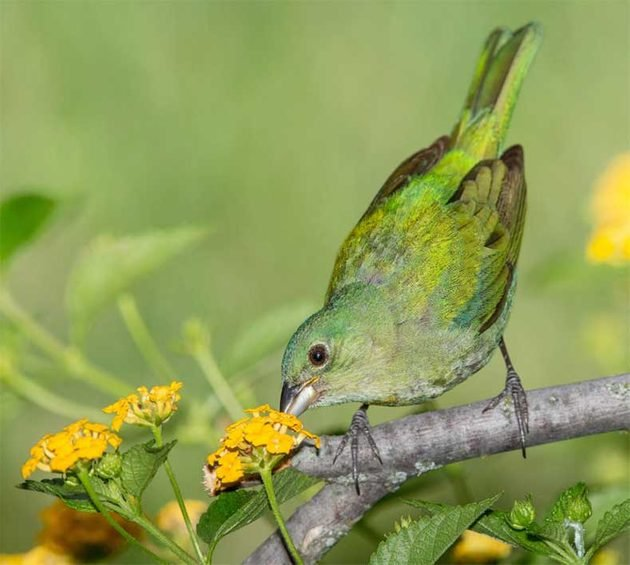 Female or juvenile painted buntings look green and nearly identical.