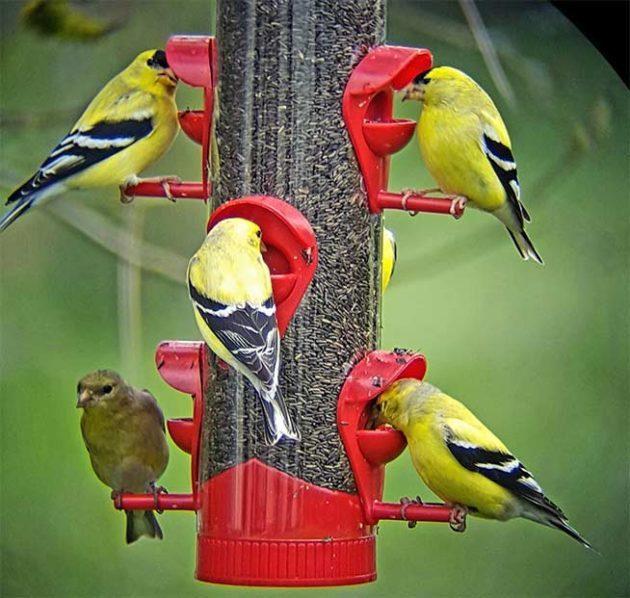 Goldfinches swarm a feeder.
