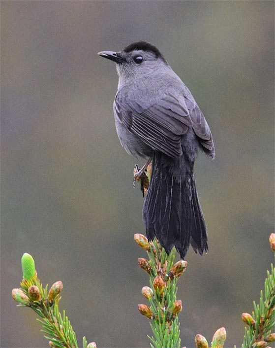 gray catbird on white spruce tree