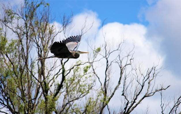 great blue heron flying in spring