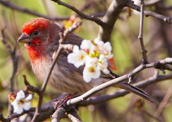 male house finch in spring blossoming tree