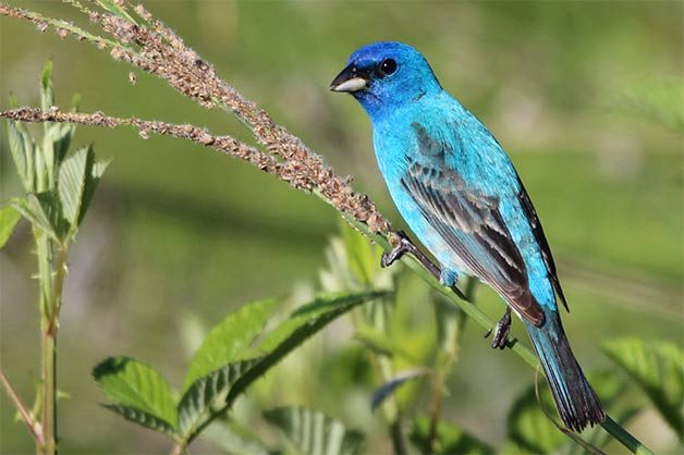 indigo bunting on spring branch