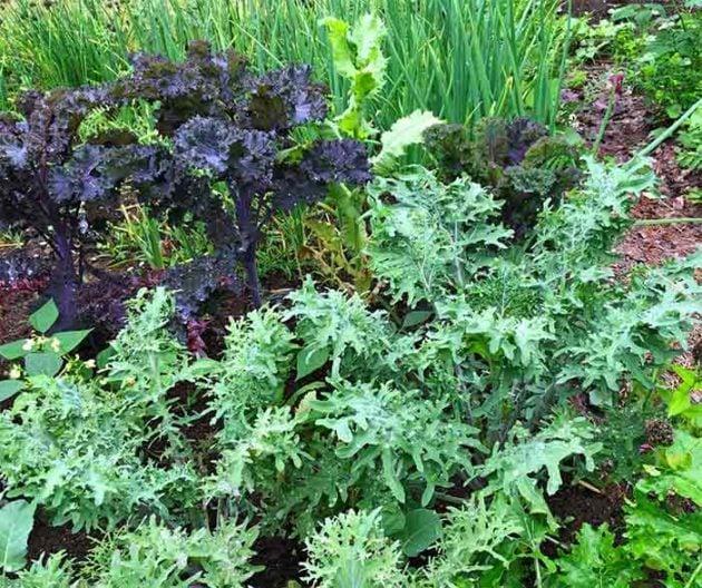 Kale is a shade-friendly veggie.