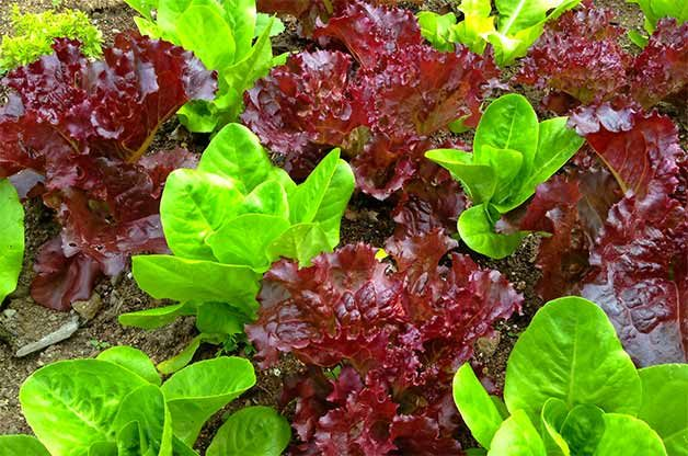 Rows of colorful shade-friendly lettuce.
