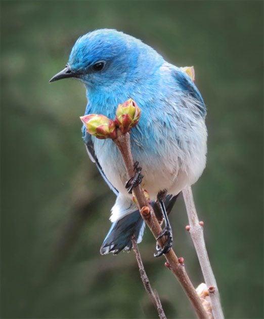 mountain bluebird on branch