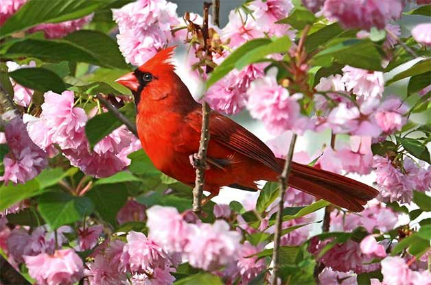 Northern cardinal in spring