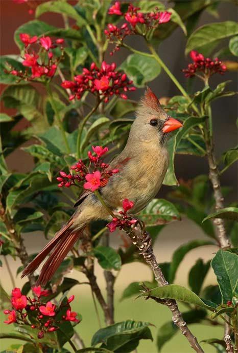 northern cardinal in spicy jatropha tree