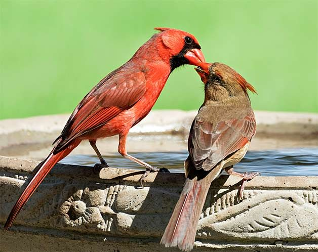 female and male northern cardinals feed each other