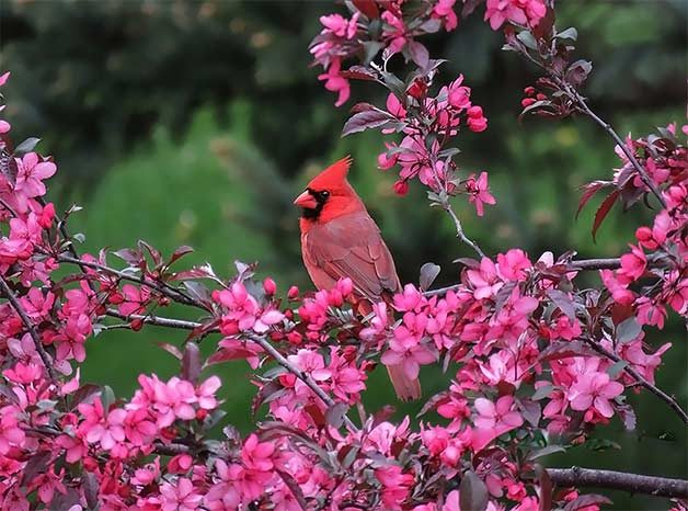 northern cardinal in pink crabapple blossoms
