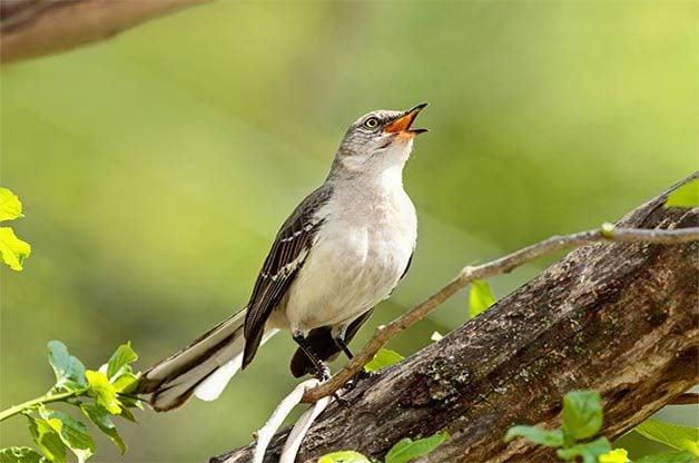 northern mockingbird bird pictures