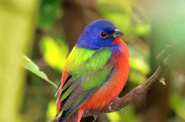 Learn where to spot painted buntings.