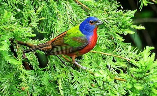 A painted bunting lands in a coniferous tree.