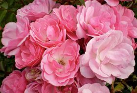 Choose the Best Roses for Your Garden