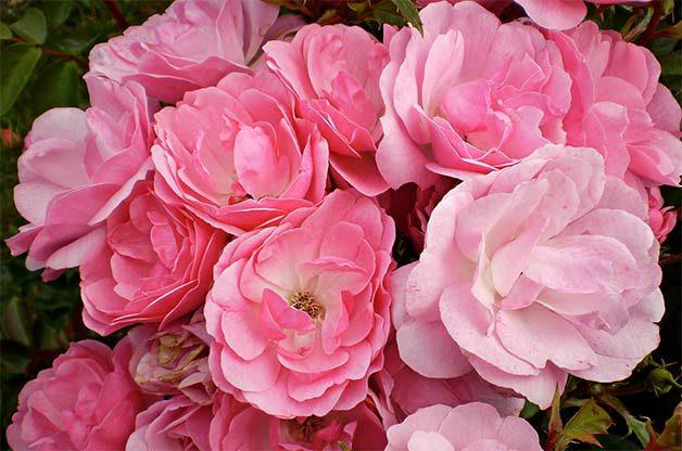 pink shrub rose called pinktopia