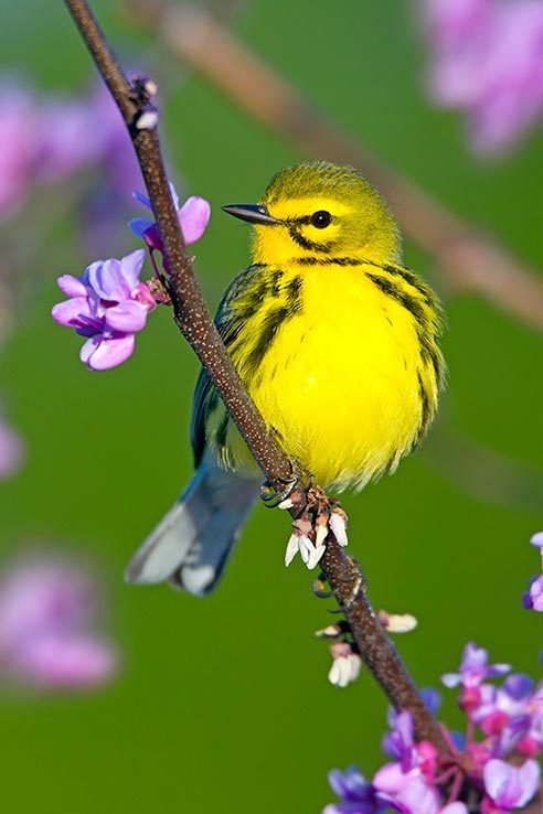 Prairie warbler sitting on flowering branch