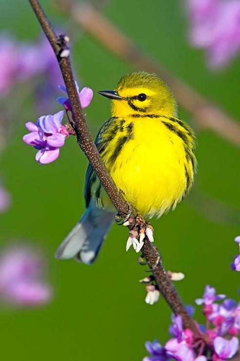 Prairie warbler sitting on flowering branch