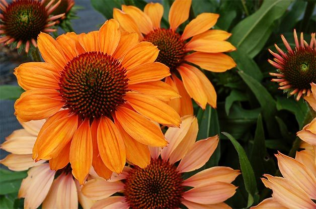Prima Ginger coneflower