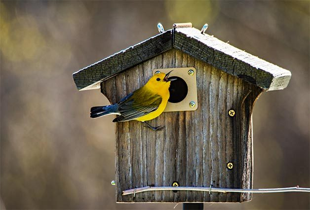 prothonotary warbler at birdhouse