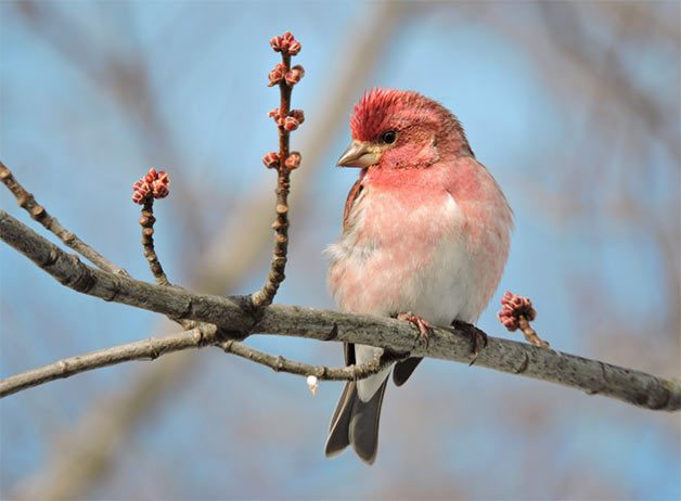 purple finch perched on maple tree branch