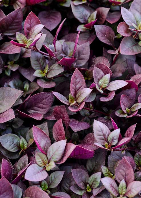 Purple Prince alternanthera