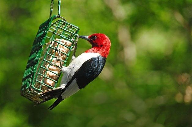 8 Red Headed Woodpecker