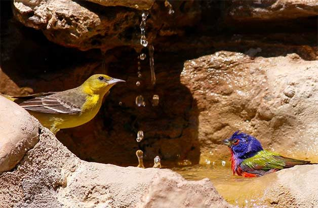 female orchard oriole and male painted bunting in water
