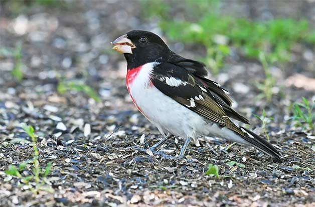 rose-breasted grosbeak in spring